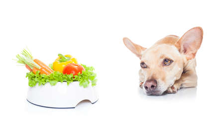 chihuahua dog with  healthy  vegan or vegetarian  food bowl, isolated on white background Reklamní fotografie