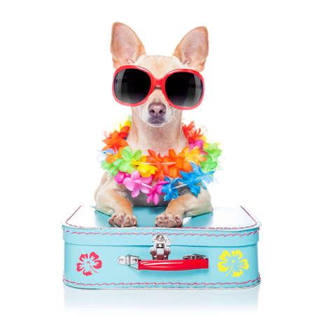cane chihuahua: cane chihuahua con borse e valigie o bagagli, pronto per le vacanze estive di vacanza in spiaggia, isolato su sfondo bianco Archivio Fotografico