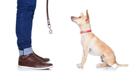 pet leash: chihuahua dog ready for a walk with leash with owner , isolated on white background