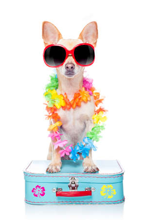hawaiian lei: chihuahua dog with bags and luggage or baggage, ready for summer vacation holidays at the beach, isolated on white background