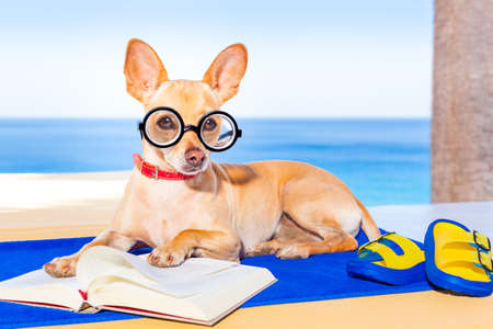 palm reading: chihuahua dog reading a book and relaxing under the palm at the beach , enjoying the summer vacation holidays