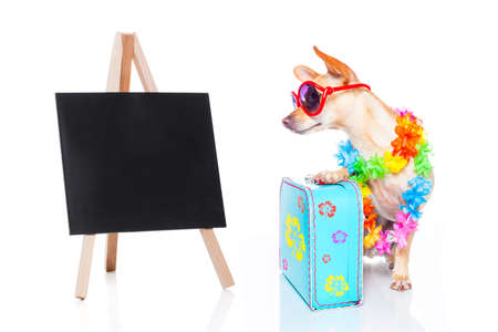 hawaiian lei: chihuahua dog with bags and luggage or baggage, ready for summer vacation holidays beside a blank and empty blackboard, isolated on white background,