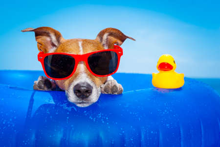 jack russell  dog  on a mattress in the ocean water at the beach, enjoying summer vacation holidays, wearing red sunglasses  with yellow     plastic rubber duck Stockfoto