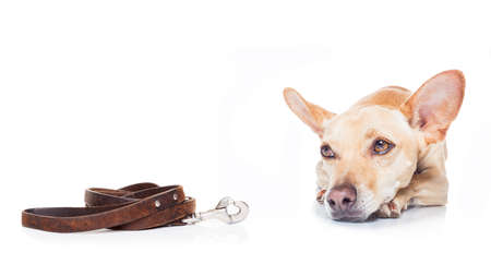 chihuahua dog ready for a walk with leash with owner , isolated on white background