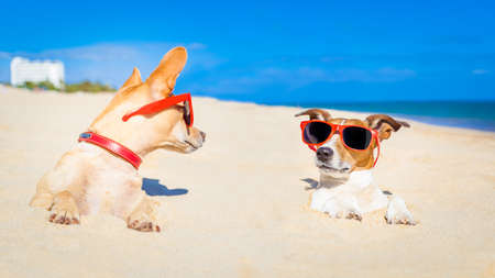 head in the sand: couple of two dogs  buried in the sand at the beach on summer vacation holidays , having fun and enjoying ,wearing red sunglasses fun and enjoying ,wearing red sunglasses