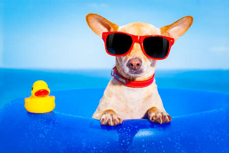 funny glasses: chihuahua dog  on a mattress in the ocean water at the beach, enjoying summer vacation holidays, wearing red sunglasses  with yellow     plastic rubber duck