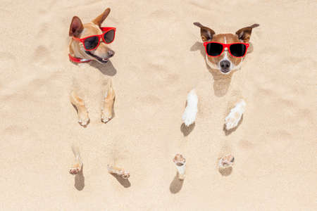 sunny beach: couple of two dogs  buried in the sand at the beach on summer vacation holidays , having fun and enjoying ,wearing red sunglasses fun and enjoying ,wearing red sunglasses
