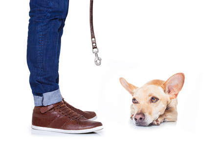 restrain: chihuahua dog ready for a walk with leash with owner , isolated on white background