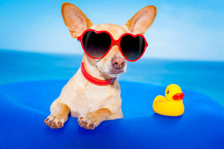 chihuahua dog  on a mattress in the ocean water at the beach, enjoying summer vacation holidays, wearing red sunglasses  with yellow     plastic rubber duck photo