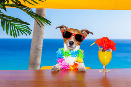 holiday pets: funny cool dog drinking cocktails at the bar in a  beach club party with ocean view on summer vacation holidays