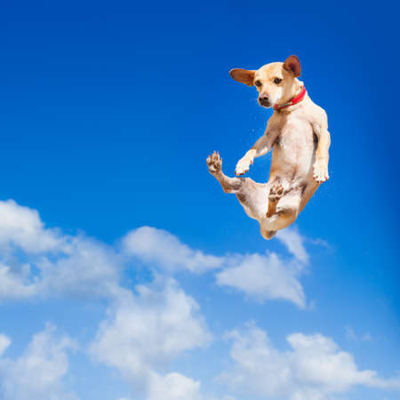 chihuahua dog flying and jumping in the air , blue sky as backdrop, funny and crazy face Foto de archivo