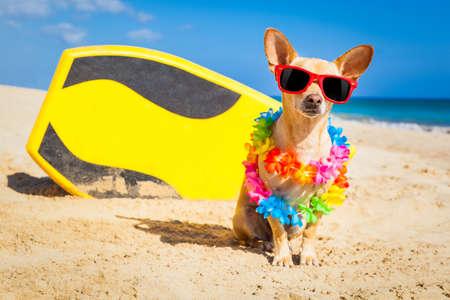 verano: perro chihuahua en la playa con una tabla de surf con gafas de sol y de la cadena de flores sobre vacaciones en vacaciones de verano en la playa
