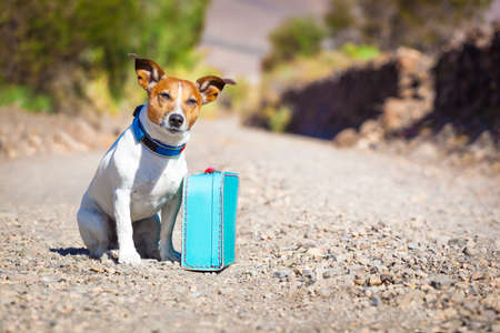 férias: cão de Jack Russell abandonado e deixado sozinho na estrada ou rua, com o saco de bagagem ou mala de viagem, implorando para vir para casa proprietários