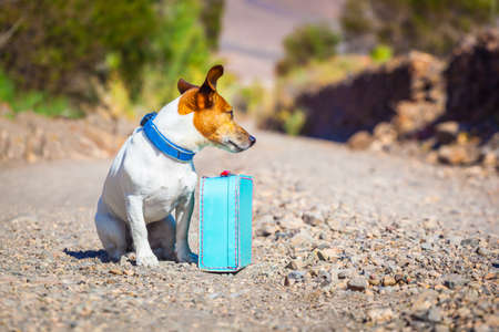 sabbatical: jack russell dog abandoned and left all alone on the road or street, with luggage bag or suitcase, begging to come home to owners