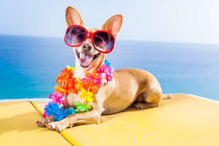 lei: chihuahua dog under the shadow of a palm tree relaxing and resting in summer vacation holidays Stock Photo