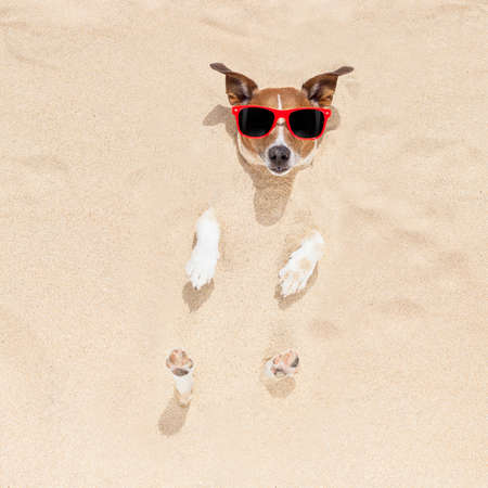 head in the sand: jack russell dog  buried in the sand at the beach on summer vacation holidays , wearing red sunglasses Stock Photo