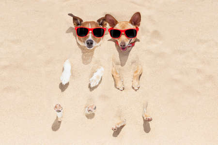 holiday pets: couple of two dogs  buried in the sand at the beach on summer vacation holidays , having fun and enjoying ,wearing red sunglasses