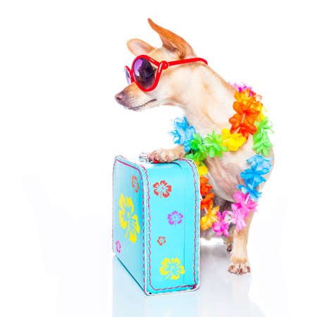 hawaiian lei: chihuahua dog with bags and luggage or baggage, ready for summer vacation holidays , looking to the side , empty space, isolated on white background