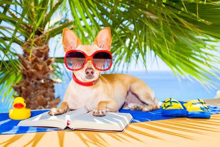 sunglasses: chihuahua leyendo un libro y relajarse bajo la palma en la playa, disfrutando de las vacaciones de vacaciones de verano