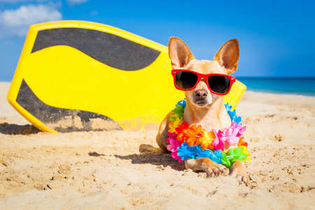 hawaiian lei: chihuahua dog  at the beach with a surfboard wearing sunglasses and flower chain on summer vacation holidays  at the beach