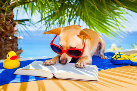 chihuahua dog reading a book and relaxing under the palm at the beach , enjoying the summer vacation holidays
