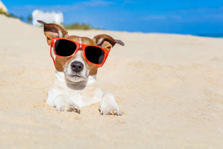 embed: jack russell dog  buried in the sand at the beach on summer vacation holidays ,  wearing red sunglasses