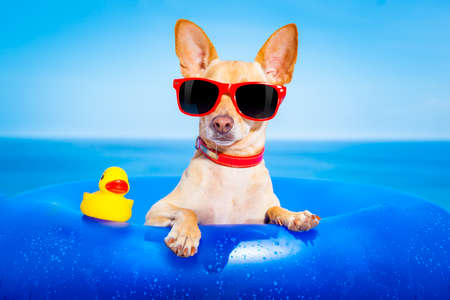 Chihuahua Hund auf einer Matratze im Meer Wasser am Strand, genießen Sommerurlaub Ferien, tragen rote Sonnenbrille mit gelben Kunststoff-Gummi-Ente Standard-Bild