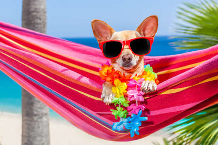 summer dog: chihuahua dog relaxing on a fancy red  hammock with sunglasses in summer vacation holidays at the beach under the palm tree