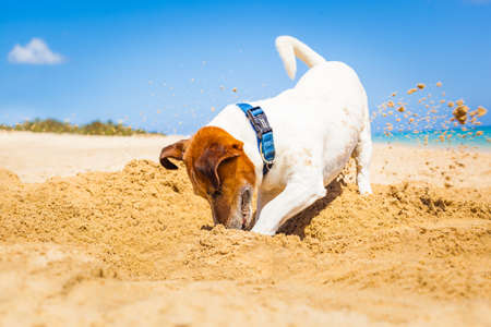 with holes: jack russell dog digging a hole in the sand at the beach on summer holiday vacation, ocean shore behind