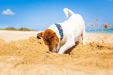 perros graciosos: jack russell perro cavando un agujero en la arena en la playa de vacaciones vacaciones de verano, la orilla del océano detrás Foto de archivo