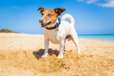 dog digging a hole in the sand at the beach on summer holiday vacation, ocean shore behind Stock Photo