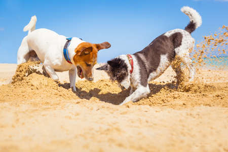 in action: jack russell couple of dogs digging a hole in the sand at the beach on summer holiday vacation, ocean shore behind