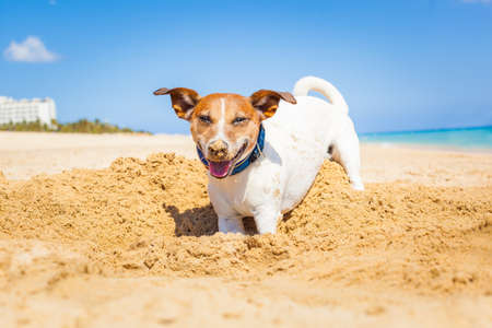 dogs play: jack russell dog digging a hole in the sand at the beach on summer holiday vacation, ocean shore behind
