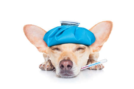 frio: perro chihuahua con dolor de cabeza y la resaca con la bolsa de hielo o bolsa de hielo en la cabeza, el termómetro en la boca con la fiebre alta, ojos sufrimiento cerrado, aislado en fondo blanco