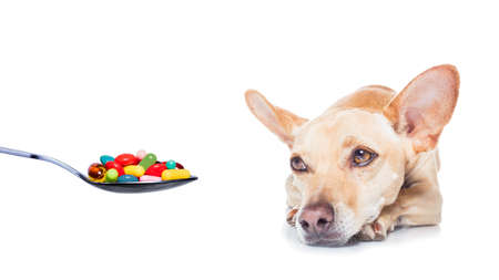 packs of pills: Chihuahua dog  with  headache and sick , ill or with  high fever, suffering ,vitamins , pills and tablets on its way,  isolated on white
