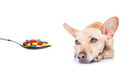 pastillas: Perro de la chihuahua con dolor de cabeza y enfermo, enfermo o con fiebre alta, dolor, vitaminas, p�ldoras y tabletas en su camino, aislado en blanco