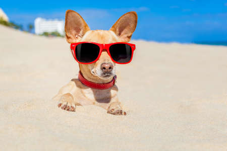 bury: chihuahua dog  buried in a hole in  the sand at the beach on summer vacation holidays , wearing red sunglasses, ocean shore behind