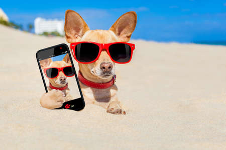 chihuahua dog  buried in a hole in  the sand at the beach on summer vacation holidays , wearing red sunglasses, while taking a selfie Stock Photo
