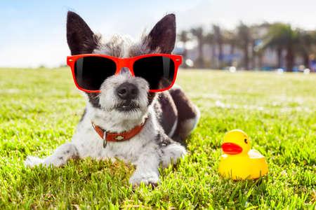 sonnenbrille: schwarze Terrier Hund Entspannen und Ausruhen, liegt auf dem Rasen oder Wiese am Stadtpark in den Sommerferien Urlaub, mit gelben Gummi-Ente als beste Freundin