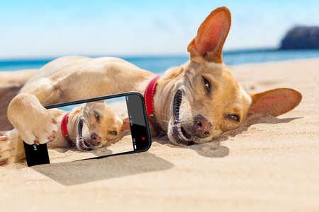 férias: chihuahua cão relaxando e descansando, deitado na areia na praia em férias das férias de verão, ao tomar um selfie para amigos Imagens