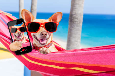 holiday pets: chihuahua dog relaxing on a fancy red  hammock taking a selfie and sharing the fun with friends, on summer vacation holidays Stock Photo