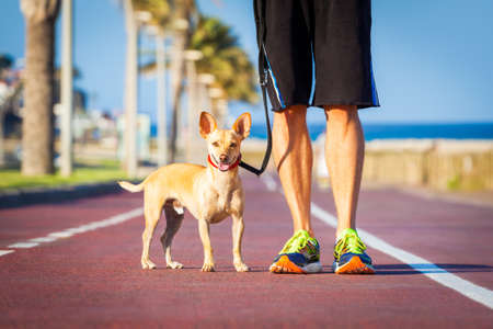 close together: chihuahua dog close together to owner walking with leash outside at the park as friends