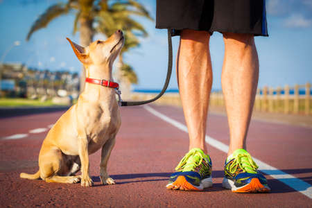 chihuahua dog close together to owner walking with leash outside at the park, dog looking up at owner Stock Photo