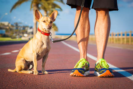 restrain: chihuahua dog close together to owner walking with leash outside at the park as friends, dog looking what is happening around Stock Photo