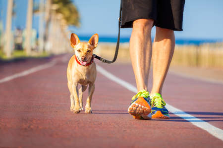 men running: chihuahua dog close together to owner walking with leash outside at the park as friends