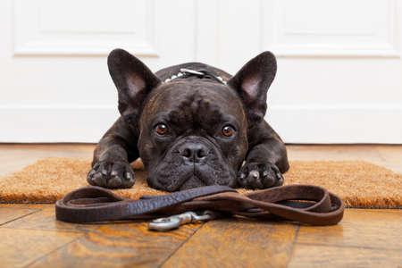 フレンチ ブルドッグ犬待っていると所有者、坐るか、または玄関マットの上に横たわると散歩に行くために物乞い 写真素材