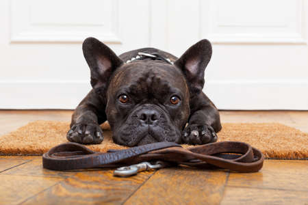 french: french bulldog dog waiting and begging to go for a walk with owner , sitting or lying on doormat
