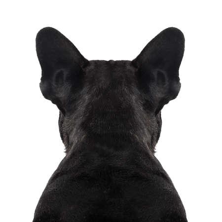 cabeza: perro bulldog francés mirando directamente, desde atrás mostrando la espalda y el torso trasero, mientras se está sentado, aislado en fondo blanco