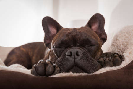 sleeping animals: french bulldog dog having a sleeping and  relaxing a siesta in living room Stock Photo