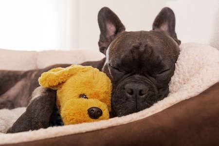 chillen: Französisch Bulldog Hund mit einer schlafenden und entspannenden Siesta im Wohnzimmer, mit doggy Teddybär
